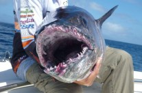 caught dogtooth tuna with Fish Aggregation Device